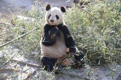 Giant Panda in Beijing Zoo, China. Giant Panda is Eating Bamboo shoot Royalty Free Stock Photo