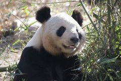 Giant Panda in Beijing Zoo, China. Giant Panda is Eating Bamboo shoot Stock Photo