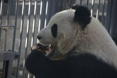 Giant Panda in Beijing Zoo, China. Giant Panda is Eating Bamboo shoot Stock Images