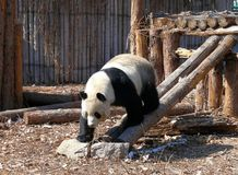 Giant panda at Beijing zoo. One winter morning an active giant panda is looking for food in Beijing zoo Royalty Free Stock Image