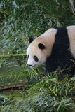 The giant panda belongs to the only mammals of the carnivora, the bear family, the giant panda subfamily and the giant panda. The. Body color is black and white royalty free stock images