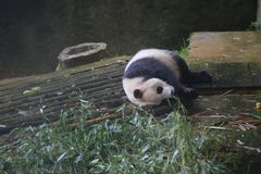 The giant panda belongs to the only mammals of the carnivora, the bear family, the giant panda subfamily and the giant panda. The. Body color is black and white royalty free stock photography