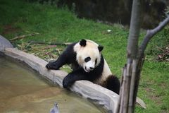 The giant panda belongs to the only mammals of the carnivora, the bear family, the giant panda subfamily and the giant panda. The. Body color is black and white stock image