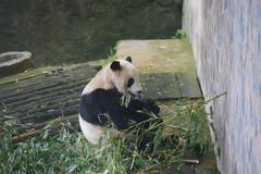 The giant panda belongs to the only mammals of the carnivora, the bear family, the giant panda subfamily and the giant panda. The. Body color is black and white royalty free stock image