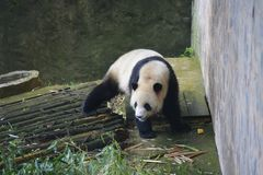 The giant panda belongs to the only mammals of the carnivora, the bear family, the giant panda subfamily and the giant panda. The. Body color is black and white stock photo