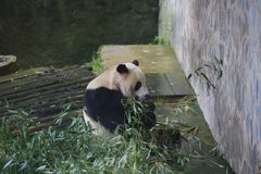 The giant panda belongs to the only mammals of the carnivora, the bear family, the giant panda subfamily and the giant panda. The. Body color is black and white royalty free stock photos