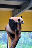 Giant panda. Is a black and white cat-foot Royalty Free Stock Image