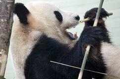 Giant Panda in Captivity Royalty Free Stock Photos