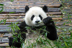 Giant panda. In Chengdu, China Stock Photography