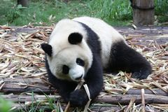 Giant Panda in Chengdu, China. Giant Panda is eating Bamboo Royalty Free Stock Images