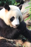 Giant panda, Chengdu, China Royalty Free Stock Photography