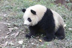 Close-up Giant panda Fluffy Face , China. Giant Panda in Chengdu Panda Base on the wood structure Stock Photos