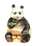 The giant Panda chewing bamboo. Stock Photography