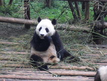 Giant panda in China. Giant panda play in Chengdu Research Base of Giant Panda Breeding Stock Photography