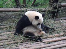 Giant panda in China Royalty Free Stock Image