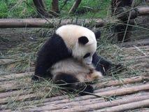 Giant panda in China. Giant panda play in Chengdu Research Base of Giant Panda Breeding Royalty Free Stock Image