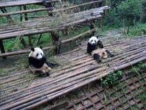 Giant panda in China. Giant panda play in Chengdu Research Base of Giant Panda Breeding Royalty Free Stock Photos