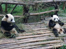 Giant panda in China. Giant panda play in Chengdu Research Base of Giant Panda Breeding Stock Image