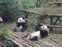 Giant panda in China Stock Photo