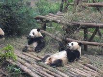 Giant panda in China. Giant panda play in Chengdu Research Base of Giant Panda Breeding Stock Photo