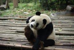 Giant panda of China. Giant panda sitting on the ground Royalty Free Stock Image