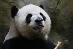 Giant panda in Chongqing,China. Giant panda is eating bamboo Royalty Free Stock Photography