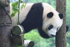 Giant panda on climbing frame Stock Photo