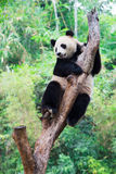 Giant panda climbing tree Stock Image