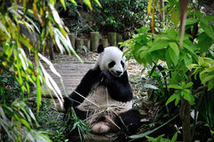 Giant panda. Close up of Giant panda Royalty Free Stock Photography