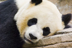 Giant Panda Close-up. Giant panda captured while sleeping royalty free stock images