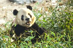 Giant Panda close-up. Panda eating shoots of bamboo Royalty Free Stock Photos