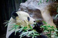 Giant Panda close-up. Panda eating shoots of bamboo Stock Photos
