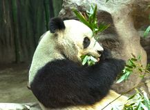 Giant Panda close-up. Panda eating shoots of bamboo Royalty Free Stock Images