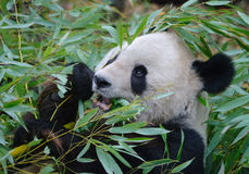 Giant panda close up portrait Royalty Free Stock Photography
