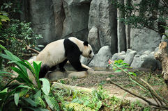 Giant panda. Close up of Giant panda in Singapore Zoo Royalty Free Stock Images