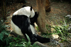 Giant panda. Close up of Giant panda in Singapore Zoo Royalty Free Stock Photo