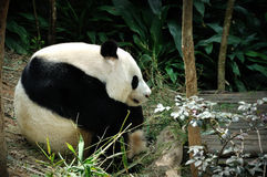 Giant panda. Close up of Giant panda in Singapore Zoo Royalty Free Stock Photos