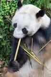 Giant panda closeup Royalty Free Stock Images