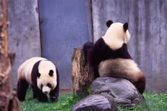 Giant panda couple. In wolong Research Base of Giant Panda Breeding,west of China Royalty Free Stock Photo