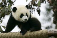 Giant Panda Cub. The Chinese Giant Panda Bear Cub Stock Photo