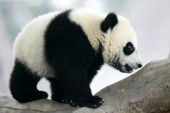Giant Panda Cub. The Chinese Giant Panda Bear Cub Royalty Free Stock Photos
