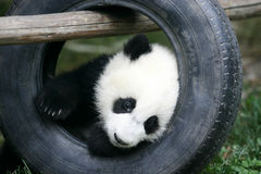 Giant Panda Cub Stock Photos