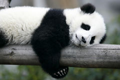 Giant Panda Cub. The Chinese Giant Panda Bear Cub stock photo