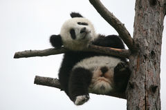 Giant panda cub Royalty Free Stock Photo