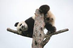 Giant panda cub. (Ailuropoda melanoleuca Stock Image