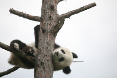 Giant panda cub Royalty Free Stock Images