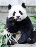 Giant Panda Cub Eating Cookie / Cake, sitting pose, China. Giant Panda Cub Eating Bamboo, sitting pose, Chengdu, China Stock Photography