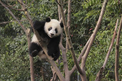 Giant panda cub playing on the tree. Photo taken in Chengdu, China royalty free stock photos