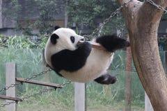 Playful Panda Cub in Chongqing, China Stock Photo