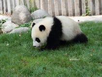 Giant Panda Cub. The Giant Panda  cub is running Royalty Free Stock Photography